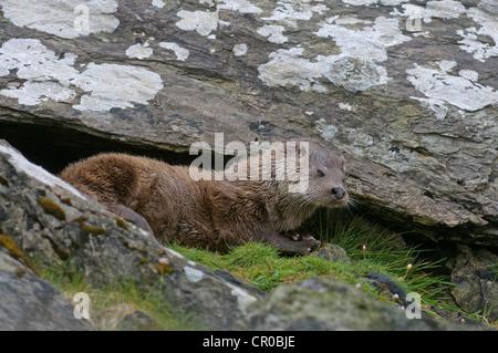 Eurasian otter (Lutra lutra) adult resting outside holt. Shetland Isles. June. - Stock Image