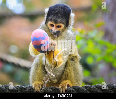 ZSL London Zoo, London, UK. 18th Apr, 2019. The resident troupe of black-capped squirrel monkeys (Saimiri boliviensis) use their acrobatic skills to get at the colourful Easter eggs filled with tasty mealworms hanging from their treetop home. ZSL keepers have organised an Easter hunt with surprise treats for the animals. Credit: Imageplotter/Alamy Live News - Stock Image