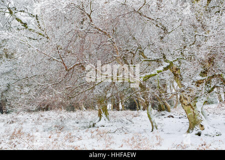 Birch and other trees on a snowy winter day with branches dusted with snow in Esk Dale in North York Moors national - Stock Image