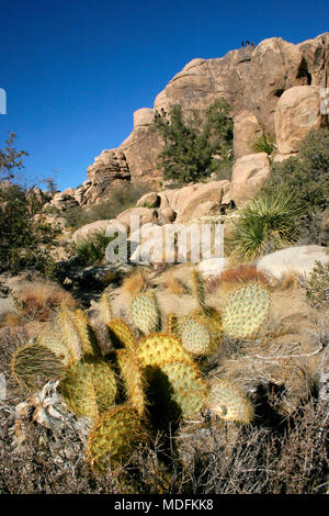 Chenille Prickly Pear Cactus, Opuntia aciculata. Mojave Desert Joshua Tree National Park - Stock Image