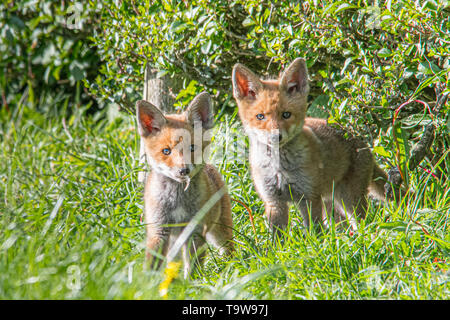 Mousehole, Cornwall, UK. 20th May 2019. UK Weather. It was a fine day in the far south west of Cornwall,  seen here a pair of fox cubs photographed for the first time, taking in the evening sunshine,   who appear to be living in the upper reaches of the photographers 'wild' garden. Credit Simon Maycock / Alamy Live News. - Stock Image