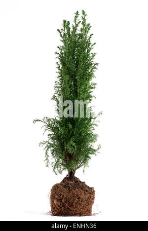 Juniper tree plant with roots. White background. - Stock Image