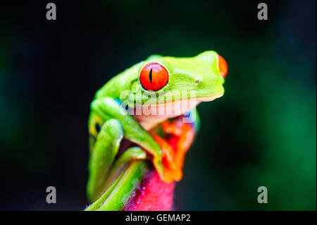 A red-eyed tree frog in Costa Rica. - Stock Image