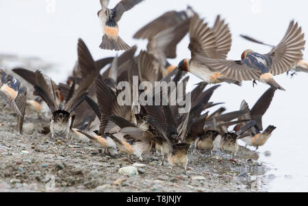 American Cliff Swallows - Stock Image