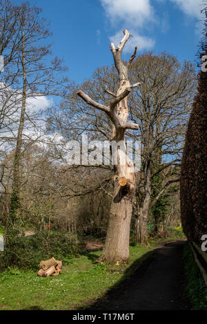 Dead or dying tree with all branches removed, ready for cutting down, Sidmouth, Devon. - Stock Image