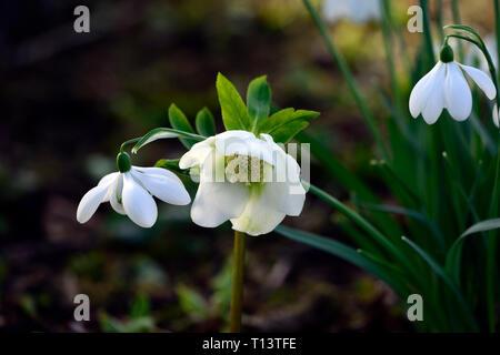 galanthus plicatus E A Bowles,white,poculiform,snowdrop,snowdrops,spring,flower,flowers,hellebore,hellborus,hellebore,RM Floral - Stock Image