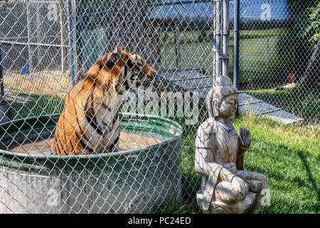 A beautiful Bengal Tiger sits in a tub of water in a small cage at a zoo. - Stock Image