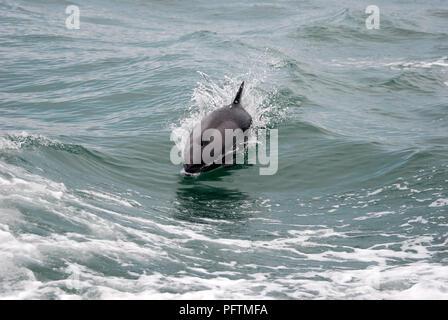 Swimming Dolphin Luderitz Namibia - Stock Image