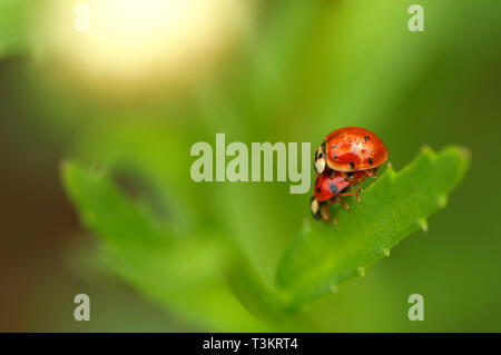 Two mating Asian Lady Beetles (Coccinellidae) on a plant leaf in the garden. - Stock Image