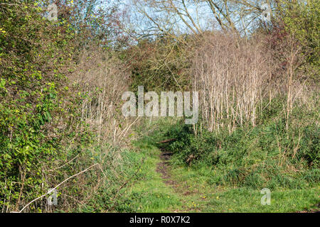 A well trodden path leads off between bushes, grass, and dried plant stalks, in the autumn sunshine. Chippenham, Wiltshire, UK - Stock Image