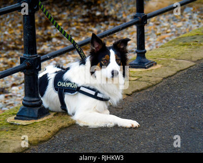 An attractive black and and white collie dog tied to a rail by the sea side his coat carries the word Champion - Stock Image