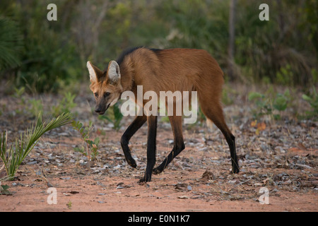 Maned Wolf walking on trail, Cerrado, Brazil, South America (Chrysocyon brachyurus) - Stock Image