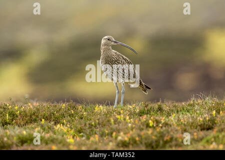 Curlew (Scientific name: Numenius arquata) Adult curlew in the Yorkshire Dales, UK during Springtime and the nesting season.  Landscape,space for copy. - Stock Image