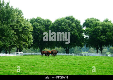 Group of Thoroughbred brood mares in pasture. - Stock Image