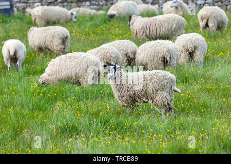A Flock of Sheep in a Field of Buttercups, Teesdale, County Durham, UK - Stock Image