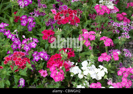 Annual Phlox (Phlox drummondii), flowering. - Stock Image