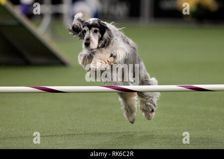 New York, USA. 09th Feb, 2019. New York, USA. 09th Feb, 2019. Westminster Dog Show - Autumn, an English Cocker Spaniel, competing in the preliminaries of the Westminster Kennel Club's Master's Agility Championship. Credit: Adam Stoltman/Alamy Live News - Stock Image