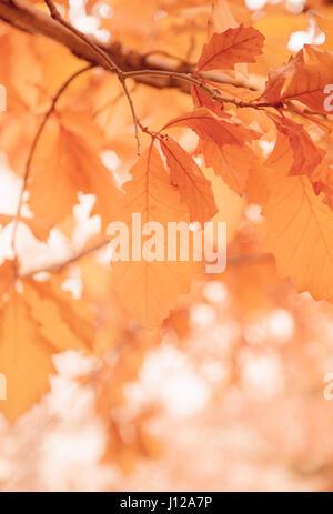 leaf, Fall Season Orange leaf, Fall Season - Stock Image