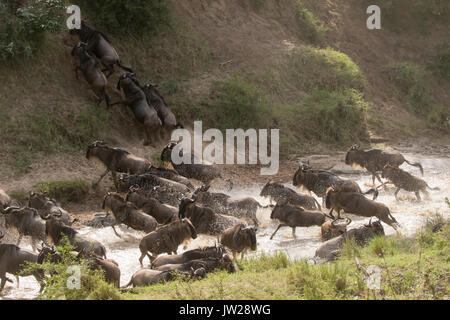 Western White-bearded Wildebeest (Connochaetes taurinus mearnsi) rushing to cross the Talek River, out of fear of possible crocodile in the river - Stock Image