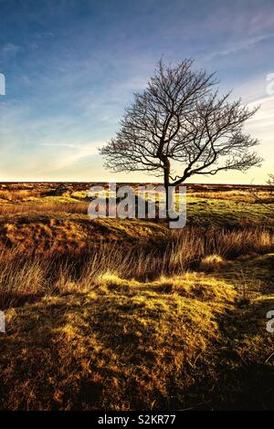 A vertical landscape image of a lone tree standing in heathland on moors in a deserted area at sunset. Sunset view of the Peak District National Park in Derbyshire UK - Stock Image
