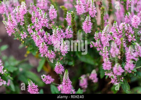 Agatache hyssop 'Arcado pink' flowers in a flower bed. Oklahoma, USA. - Stock Image