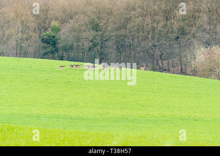 Fallow deer (Dama dama) early evening in the Herefordshire countryside, - Stock Image