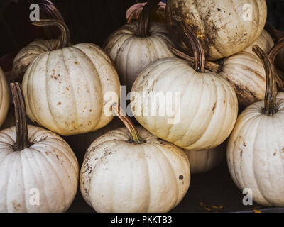 White pumpkins for Halloween with a vintage feel, scientific name Cucurbita pepo - Stock Image