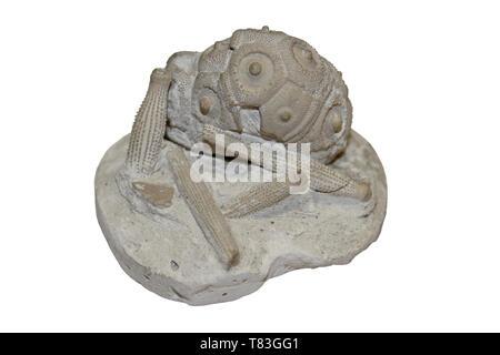 Cidaris (a.k.a. Temnocidaris / Stereocidaris) sceptrifera Upper Chalk, Cretaceous, Charlton Kent - Stock Image