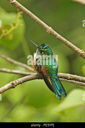 Violet-tailed Sylph (Aglaiocercus kingii) adult female perched on twig  Nono-Mindo Road, Ecuador        February - Stock Image