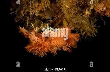 Phidolopora pacifica, Lacy bryozoan - Stock Image