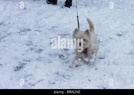 West Highland White Terrier enjoying a walk in the snow. - Stock Image