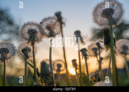 Low Angle View Of Dandelion Growing On Field During Sunset - Stock Image