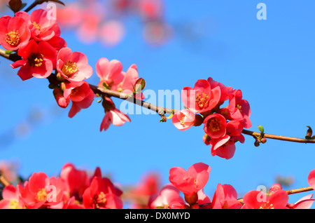 Red wild apple blossom background - Stock Image
