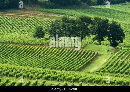 vineyard chateau gudeau saint emilion bordeaux france - Stock Image