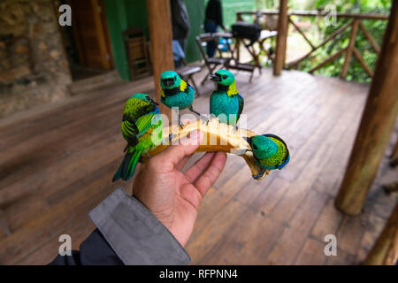 Green-headed Tanagers from the Atlantic Rainforest feeding on the hand of a person - Stock Image
