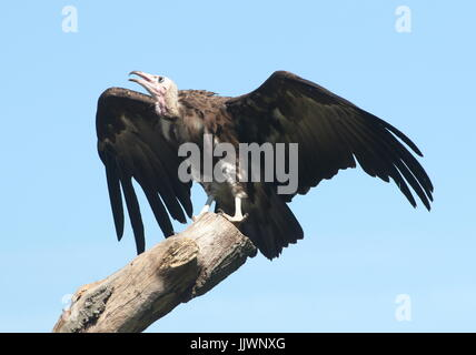 African Hooded vulture (Necrosyrtes monachus) in flight, touchinfg down in a tree. - Stock Image