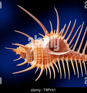 Venus Comb shell, Murex pecten, - Stock Image