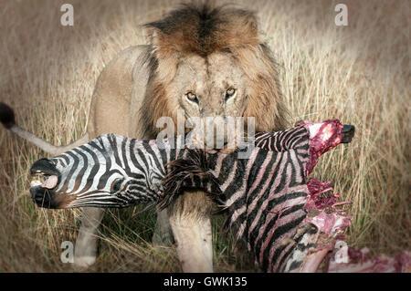 Lion with Kill. Kenya. Africa. - Stock Image
