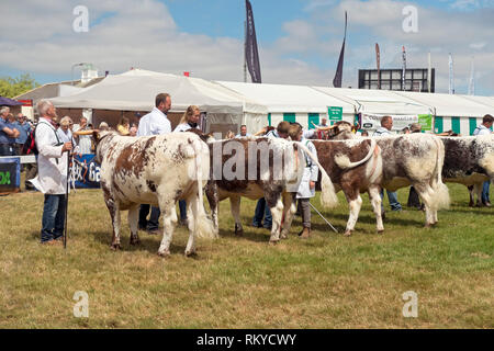 Longhorn cattle judging at the Great Yorkshire Show. - Stock Image
