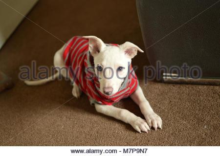 Closeup of white puppy dog - Stock Image