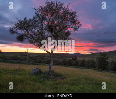 Silver Birth tree at sunset, Rogart, Sutherland, Highland, Scotland - Stock Image