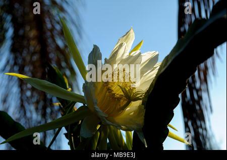 Dragon fruit flower (Hylocereus sp) - Stock Image