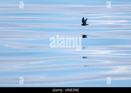 European storm-petrel (Hydrobates pelagicus) in flight over calm sea. Hebrides, Scotland. June. - Stock Image