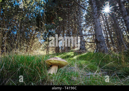 Close-up of a wild mushroom growing in the forest, Spain - Stock Image