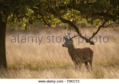 Red Deer during rutting season, taken in United Kingdom - Stock Image