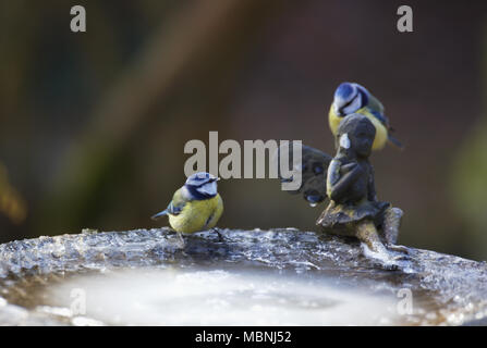 Two eurasian blue tits on frozen bird bath - Stock Image