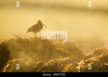 Common snipe, Latin name Gallinago gallinago, standing on a steaming manure pile in early morning light - Stock Image