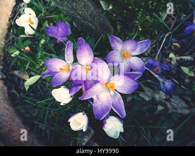 Close-Up Of Purple Crocus Flowers - Stock Image