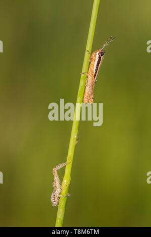 Spur-throated Grasshopper (Melanoplus sp.) on a plant stem. - Stock Image