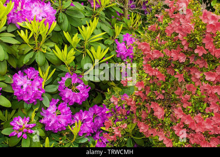 Purple rhododendron and red pink azalea flowers growing in a garden in north east Italy. They are wet from recent rain - Stock Image